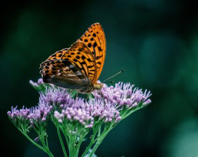 What is lupus butterfly image on purple flowers