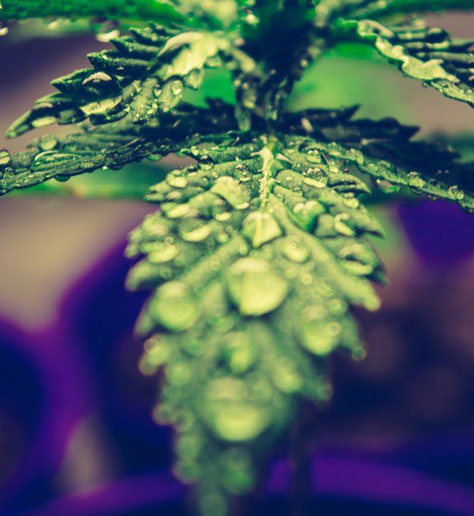 lupus-marijuana-cannabis-cover