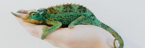 pets-chameleon-divider4