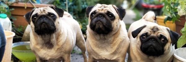 pets-pugs-divider2
