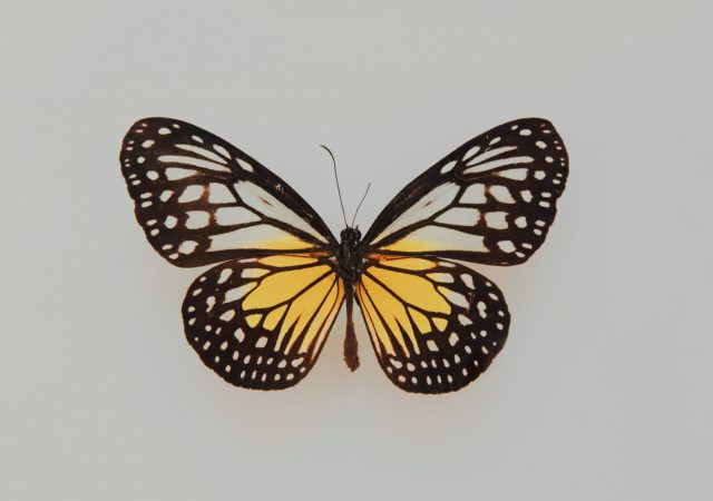 butterfly rash-malar-lupus-diagnosis-lupuscorner-cover